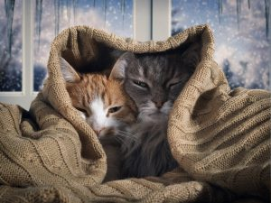081402927--by KOZOROG-two-cats-hide-under-blanket-ou
